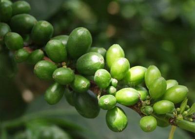 Как_похудеть_с_зеленым_кофе
